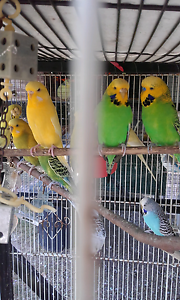 Budgies for sale Barellan Point Ipswich City Preview