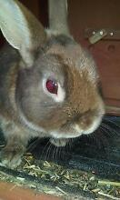 Netherlands Dwarf Rabbit - Remi, Male 2 years old (fully grown) Rye Mornington Peninsula Preview