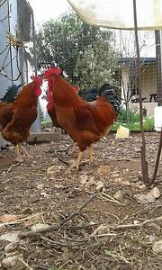 New Hampshire Roosters Waikerie Loxton Waikerie Preview