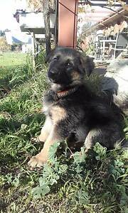 German Shepherd puppies Junortoun Bendigo City Preview