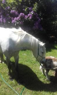 Companion or project Welsh pony gelding 5yo, 11.3hh