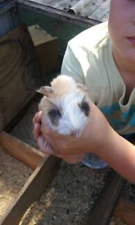 Awesome Beautiful Baby Guinea Pigs