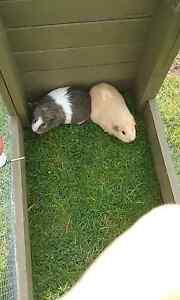 Guinea pigs and cage Wivenhoe Burnie Area Preview