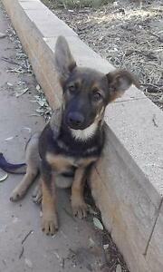 Purebred German Shepherd puppy Junortoun Bendigo City Preview