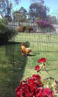 ROOSTER FOR SALE PURE BRED