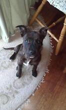 16 week old American staffy x English staffy pup URGENT REHOME! Shearwater Latrobe Area Preview