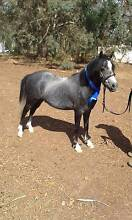 Registered Welsh A Pony Bayonet Head Albany Area Preview