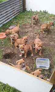 PUPPIES FOR SALE!!! AVAILABLE NOW!!!:) Legana West Tamar Preview