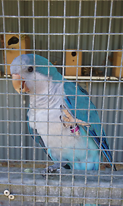 Where can you find Quaker parrots for sale?