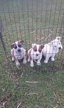 aussie bulldog x australian cattle dog pups Camden Camden Area Preview