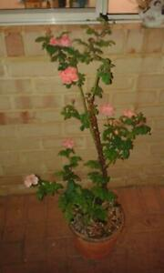 rose bush was dug up and reported last year