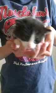 Kittens free Westmeadows Hume Area Preview