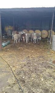 Dorper sheep for sale  $700 Moonta Copper Coast Preview