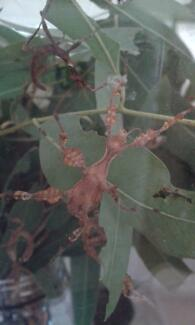 SPINY LEAF STICK INSECTS - READY NOW TILL CHRISTMAS!
