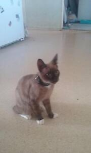 Kitten for sale Logan Central Logan Area Preview