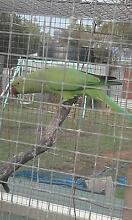 Green Ringnecks Trangie Narromine Area Preview