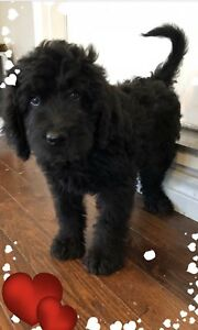 NEWFYPOO only one girl left(Newfoundland X Poodle)