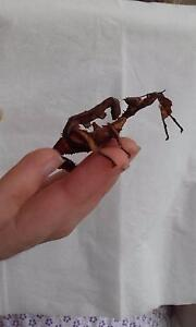 Stick insects - spiny stick insects Lane Cove North Lane Cove Area Preview