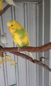 English male budgies Barellan Point Ipswich City Preview
