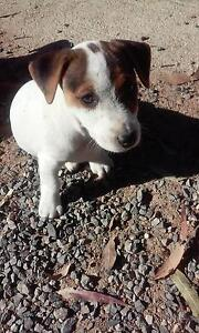 Purebred Jack Russell's Gunalda Gympie Area Preview