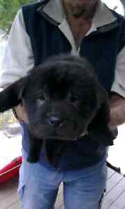 Purebred Sharpei puppies Goodna Ipswich City Preview