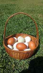 Rare Breed Chicken Fertile Eggs Kempsey Kempsey Area Preview