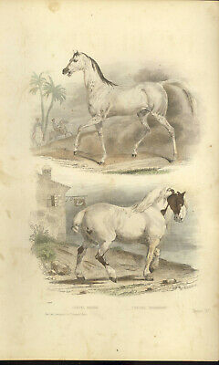 Buffon Animales Grabado 1856 Placa Colores Travies Caballo Barba Norman segunda mano  Embacar hacia Spain