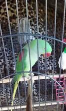alexandrine parrot Lewiston Mallala Area Preview