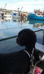 French Miniature Poodle looking for a free boarding home Chippendale Inner Sydney Preview