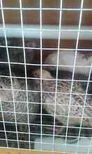 Jap Quail male and female Broken Hill Central Broken Hill Area Preview