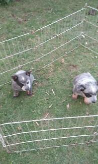 purebred blue cattle dog pups stumpy and long tails Camden Camden Area Preview