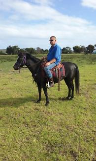 Black welsh x pony mare