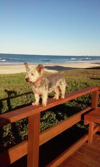 Small well behaved dog Mermaid Beach Gold Coast City Preview