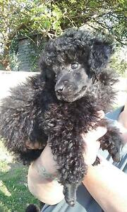Toy Poodle Maitland Maitland Area Preview