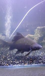 Black shark 30cm Merriwa Wanneroo Area Preview