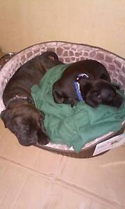American staffy X English staffy Murrumba Downs Pine Rivers Area Preview