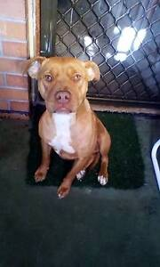 Red nose staffy 14 months old O'Sullivan Beach Morphett Vale Area Preview
