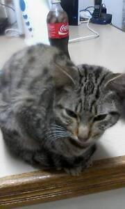male kitten Toowoomba Toowoomba City Preview