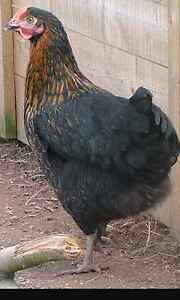 Cross bred pullets  (girls) Gawler Gawler Area Preview