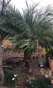 Established Palms trees for sale Maidstone Maribyrnong Area Preview