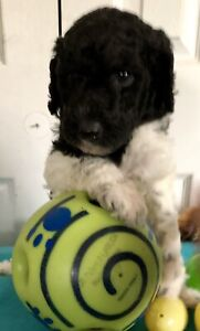Purebred Standard Poodle Puppies - Ready May 4th