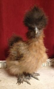 Silkie chicks and hatching eggs coming this spring!
