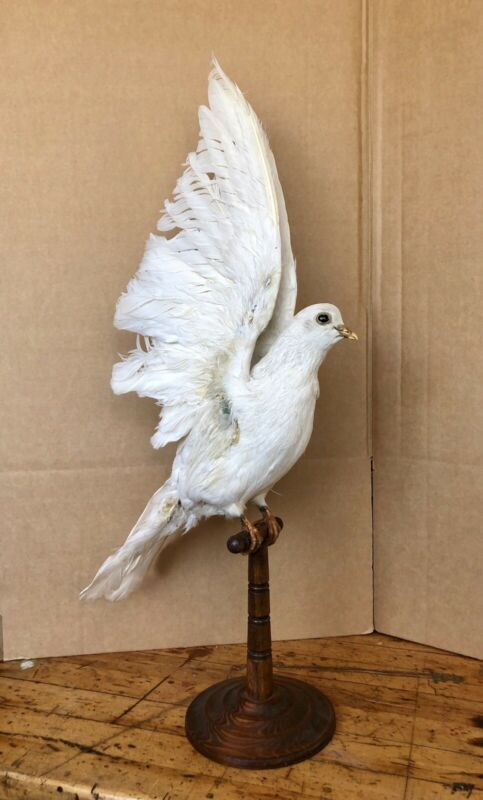 Antique Taxidermy Magician's White Dove W/ Odd Fellows Past, Release Dove