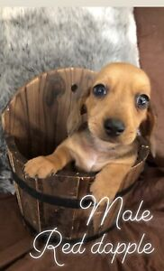 2 x mini dachshund puppies left