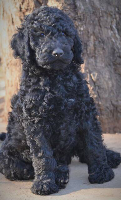 ~~ STUNNING BLACK STANDARD POODLE PUPPY ~~ | Dogs