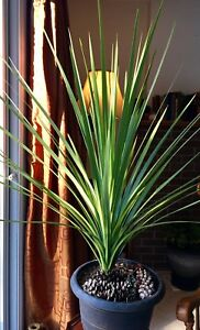 Large Potted Plant - Dracaena Spike Healthy & growing