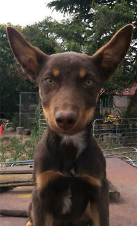 Kelpie Pups for sale $250 edited*