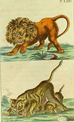! 1700's Aquatint Engraving Double Scene - Big Cats Lion Family