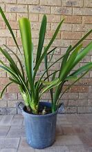 One potted clump of Orange Clivia plants Shelley Canning Area Preview