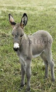 """Wanted ""Mini Donkey"